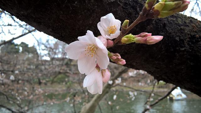 3/26 今日のお花見@井の頭公園