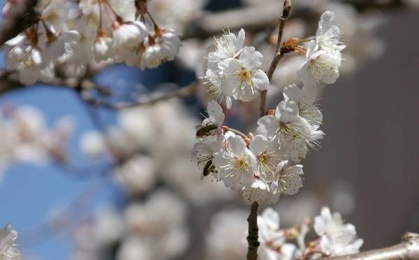吉祥寺たいむましーん NO.5・・・2005年3月編 春の井の頭公園