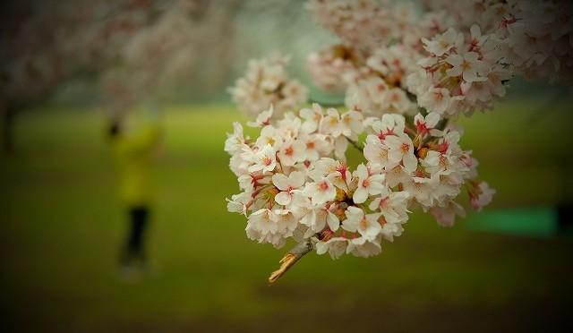 富士フイルム XF 35mm F2 R WR で撮る武蔵野中央公園の桜とX-T10の注意点