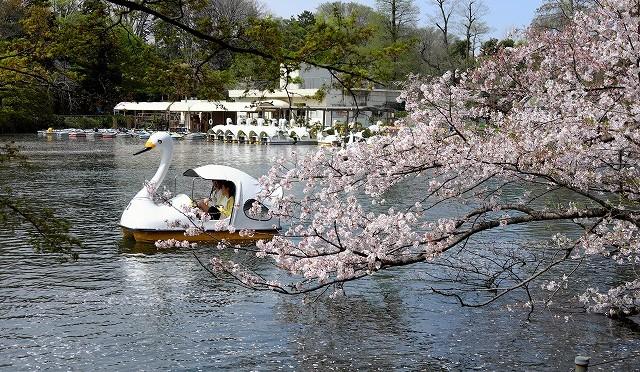 井の頭公園・桜吹雪の季節