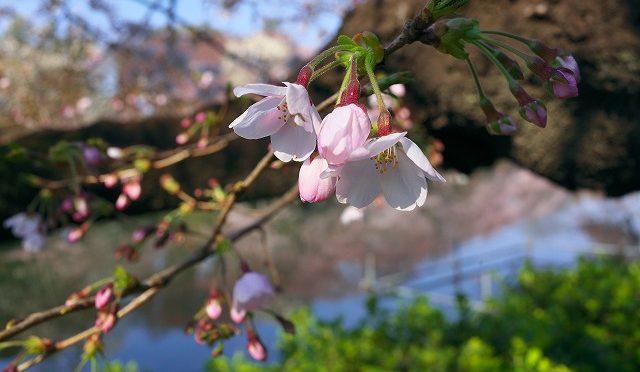 4月4日 朝の吉祥寺・井の頭公園 桜見物