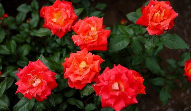 5月4日は無料入園日! XF 35mm F2 で神代植物公園のバラ園を撮ってみた!